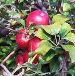 Aftonapple-apples1
