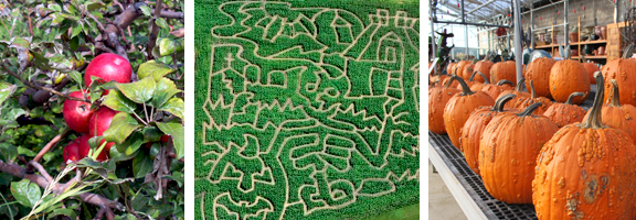 Cornmaze-apples-pumpkins