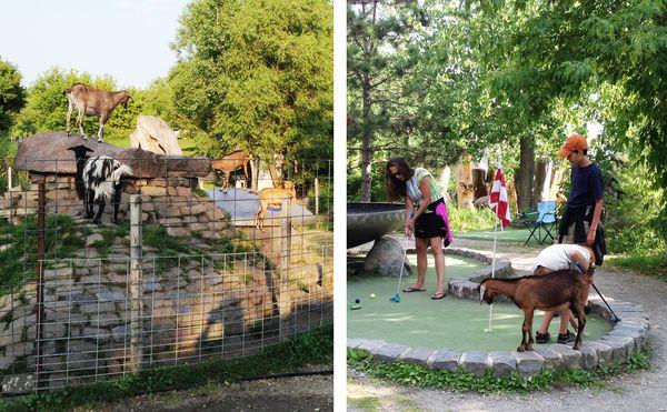Big Stone Golf-goats3